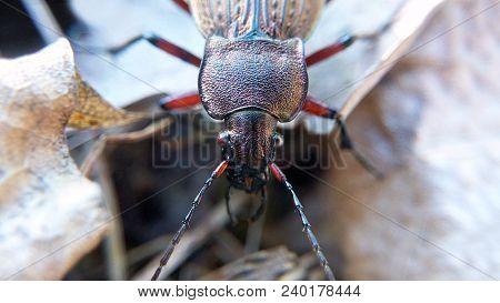 Black Beetle Blurred Background Macro, Insect Predator Closeup In Autumn
