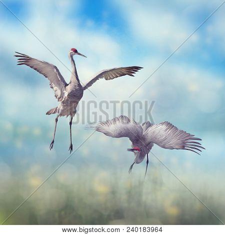 Pair of Sandhill Cranes  dance in the Florida wetlands.Digital art.
