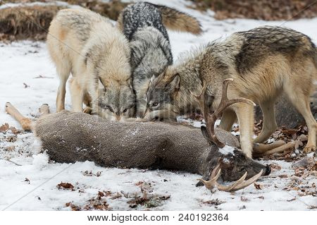 Grey Wolves (canis Lupus) Gnaw At White-tail Deer - Captive Animals