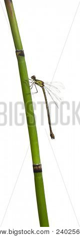Willow Emerald Damselfly or the Western Willow Spreadwing, Lestes viridis, on plant stem in front of white background