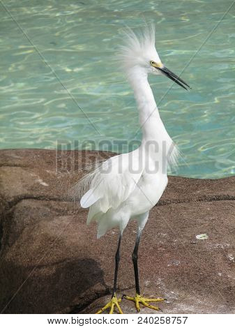 Tall Snowy Egret Bird By A Pool Of Water.