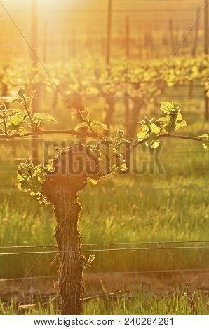 Sunlit Grapevine In Vineyard With Golden Rays Of Light