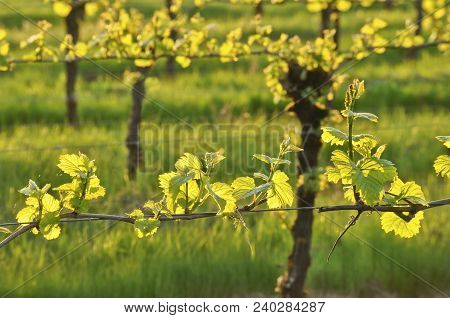 Grapevine Branch Of Young Grapes Sunlit In Spring