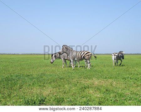 The Zebra Pasturing In The Grass In The National Park Askania-nova.