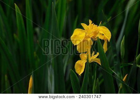Close-up Of Yellow Iris Pseudacorus Macrophyte Aquatic Plant. Flower. Photography Of Nature.