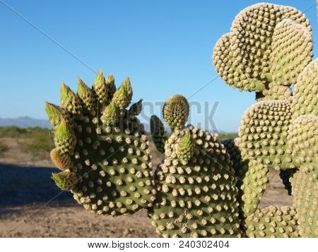 The Unopened Blooms Of A Prickly Pear Cactus Native To Arizona. Also Known As The Bunny Ear Cactus B