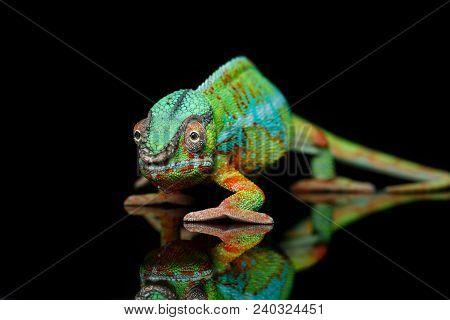 Alive Chameleon Reptile Over Black Background. Studio Shot. Copy Space.