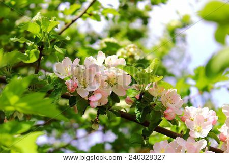 Apple blossoms in the sun. Flowering apple trees. Apple trees are blooming in sky background. Pink apple flowers blossom. White Apple tree blossoms. The Apple tree twig with white flowers. Apple tree blossom