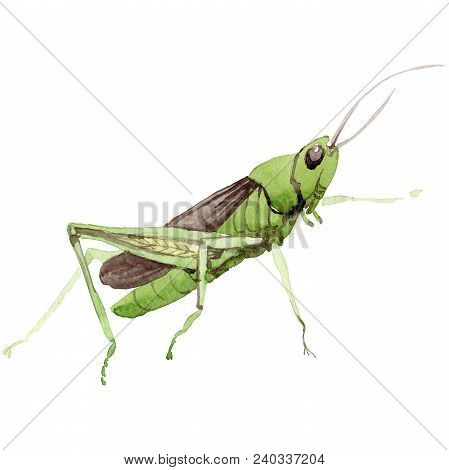 Exotic Crickets  Wild Insect In A Watercolor Style Isolated. Full Name Of The Insect: Crickets, Gras