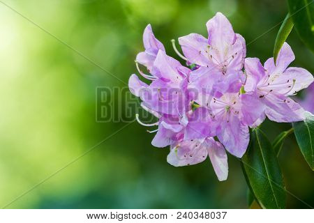 Close-up of beautiful purple Rhododendron in Sunlight. View to a flowering Rhododendron Flower in Spring. Season of blooming Rhododendron in Springtime.