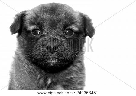 Portrait Of Cute Little Puppy. Mongrel Pet. Front View. Rectangular Black And White Photo.