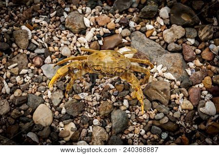 Yellow Terrestrial Crab (gecarcinidae) On The Lake Shore Of The Sea Of Galilee Also Known As The Lak