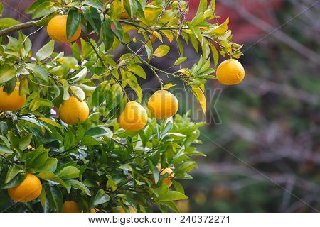 Oranges Hanging Tree. Branch Of Yellow Fruit Background.