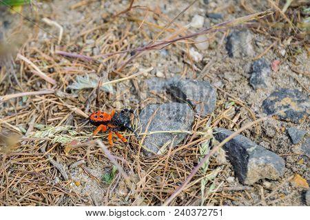 Ladybird Spider Or Black Eresus Kollari Close.