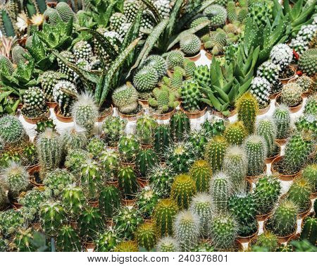 Many Cactus In The Pot Are Sort Row On The Table, Pink Flower Of Cactus, Mammillaria Cactus, Succule