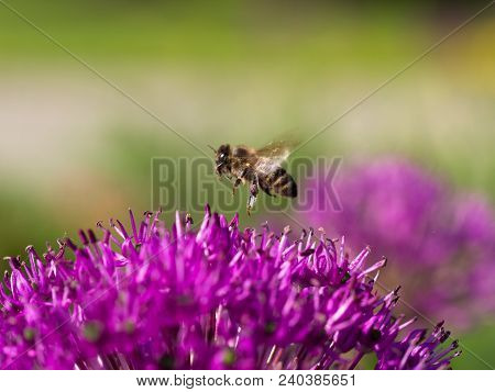 Flying Honey Bee Collecting Pollen From Blossom Of Allium Cristophii( Persian Onion Or Star Of Persi