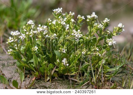 Common Scurvygrass (cochlearia Officinalis) Plant In Flower. Coastal Plant In The Family Brassicacea