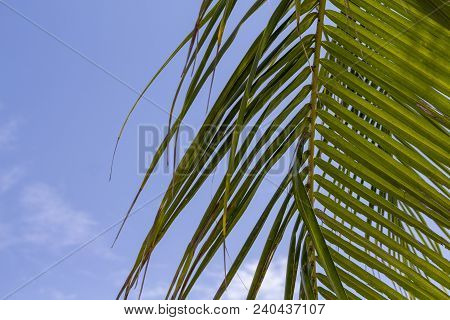 Green Palm Leaf Over Blue Sky. Tropical Nature Minimal Photo For Background. Coco Palm Leaf Banner T