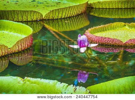 Water lily, Victoria amazonica lotus flower plant.  Pamplemousses Botanical Garden, Mauritius poster