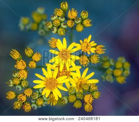 Very Common Wild Flower In The Family Asteraceae That Is Native To Northern Eurasia