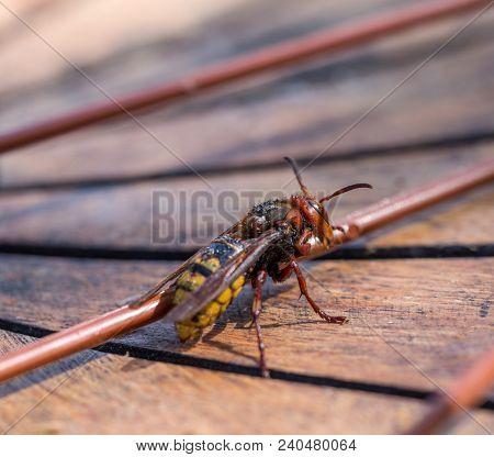European Hornet Vespa Crabro Wet After Rain Dries In The Sun