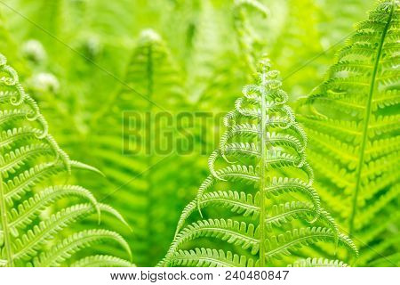 Vibrant Natural Green Fern Texture Pattern. Beautiful Tropical Forest Or Jungle Foliage Background.