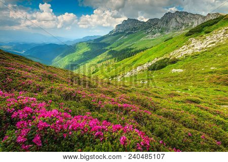 Wondeful Summer Landscape, Spectacular Colorful Pink Rhododendron Mountain Flowers On The Hills In B