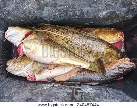 Freshly Caught Cod Fish In Black Plastic Crate With Other Catches. The Fish Last Opening His Mouth A