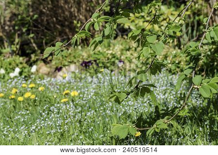 Sunny Green Knit Tree Branch With Young Leaves On A Blurred Spring Garden Background, Carpet Of Bloo