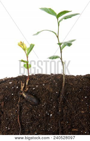 Oak Tree Saplings, One Recently Sprouted From Seed, Seed Still Attached, Other Plant More Mature See
