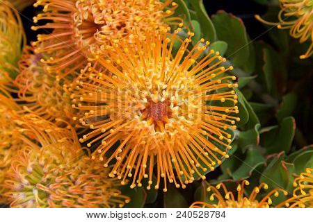 Yellow Pin Cushion Protea Flower, Close Up With Leaves And Other Flowers In Background. Proteas Are