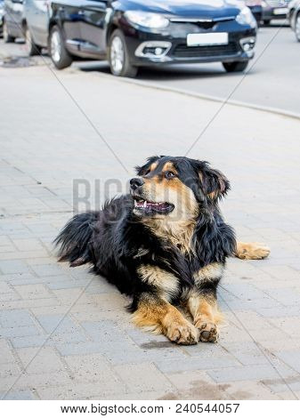 Dog Resting On  Sidewalk Near  Road With Cars. Animal Is Safe Among People