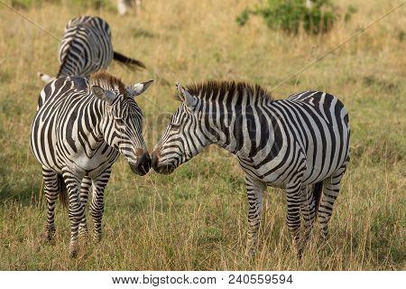 Two Zebras Nose To Nose In A Savannah In Masai Mara, Kenya