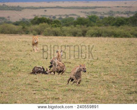 A Group Of Hyenas At A Carcass Run From A Charging Male Lion In A Savannah In Masai Mara Game Reserv