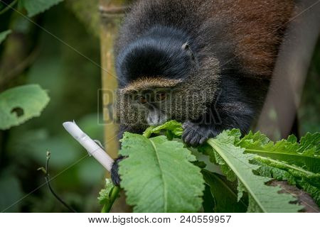 A Golden Monkey In In The Wilderness Of Volcanoes National Park In Rwanda