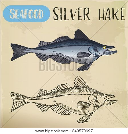 Sketch Of Silver Or New England, Atlantic Hake. Hand Drawn Sea Or Ocean Fish For Sign Or Banner, Res