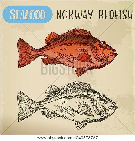 Seafood Sketch. Norway Redfish Or Nannygai, Snapper Or Slimehead Fish. Hand Drawn Ocean Or Sea Anima
