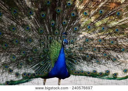 The Male Indian Peafowl (blue Peafowl Or Pavo Cristatus) With His Colorful On His Covert Feathers.