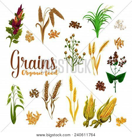 Grain Seed Of Cereal With Ear Icon Set Of Natural Organic Super Food. Wheat, Barley And Rice, Oat, R