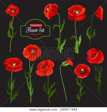 Poppy Flower Icon Set Of Red Wildflower. Blooming Poppy Flower With Green Leaf, Stem And Floral Bud,