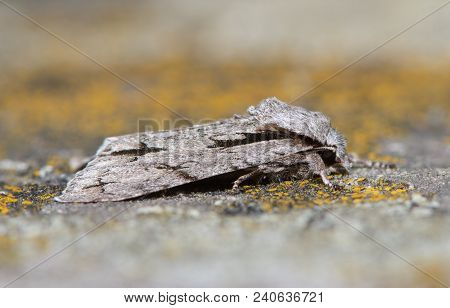 Grey Dagger (actronicta Psi) Moth At Rest On Lichen. British Insect In The Family Noctuidae, The Lar