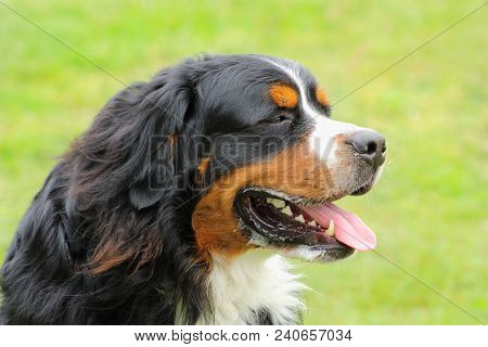 Face Of A Bernese Mountain Dog Dog Growing On The Tongue Because Of The Heat