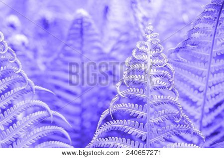 Vibrant Natural Fern Texture Pattern. Beautiful Tropical Forest Or Jungle Foliage Background. Ultrav