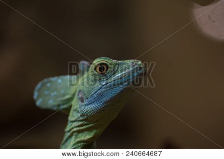 Plumed Basilisk With Interested Look On Blurred Beige Background, Close Up. Blue Lizard In Nature, D
