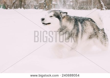 Alaskan Malamute Playing Outdoor In Snow, Winter Season. Playful Pets Outdoors.