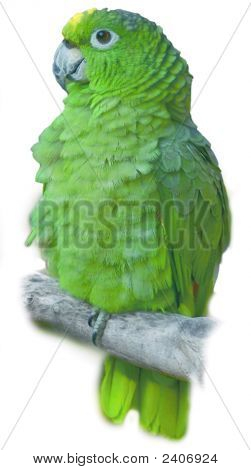 Fluffy Green Parrot Perching Stock Photo