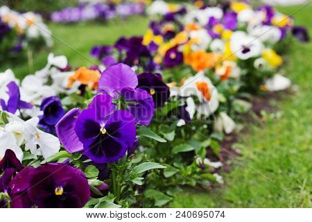 Flowerbed Of Multicolored Viola Tricolor Or Kiss-me-quick (heart-ease Flowers) In Spring, Beauty In