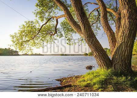 Scenic Tree On Shore Of Lake At Warm Summer Evening. Landscape Of River Bank With Tree Trunk And Cle