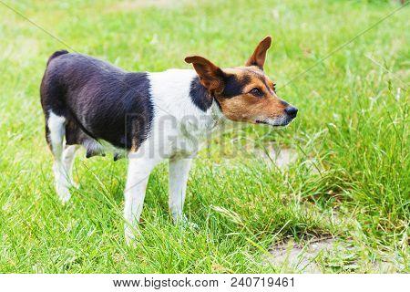 Nursing Mongrel Dog Outdoors