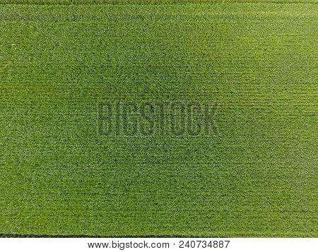 The Wheat Field Is Green. Young Wheat On The Field. View From Above. Textural Background Of Green Wh